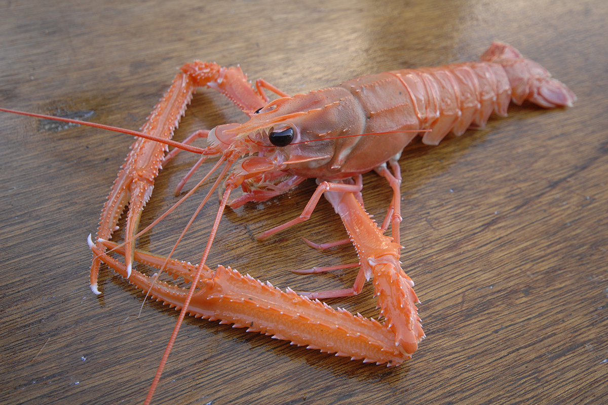 OCEAN BISTRO 旬の食材 旬の食材 アカザエビ