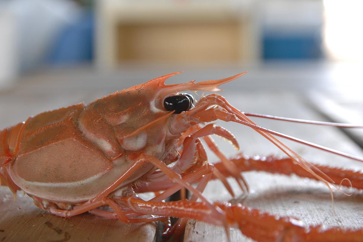 OCEAN BISTRO 旬の食材 旬の食材 アカザエビ ギャング顔