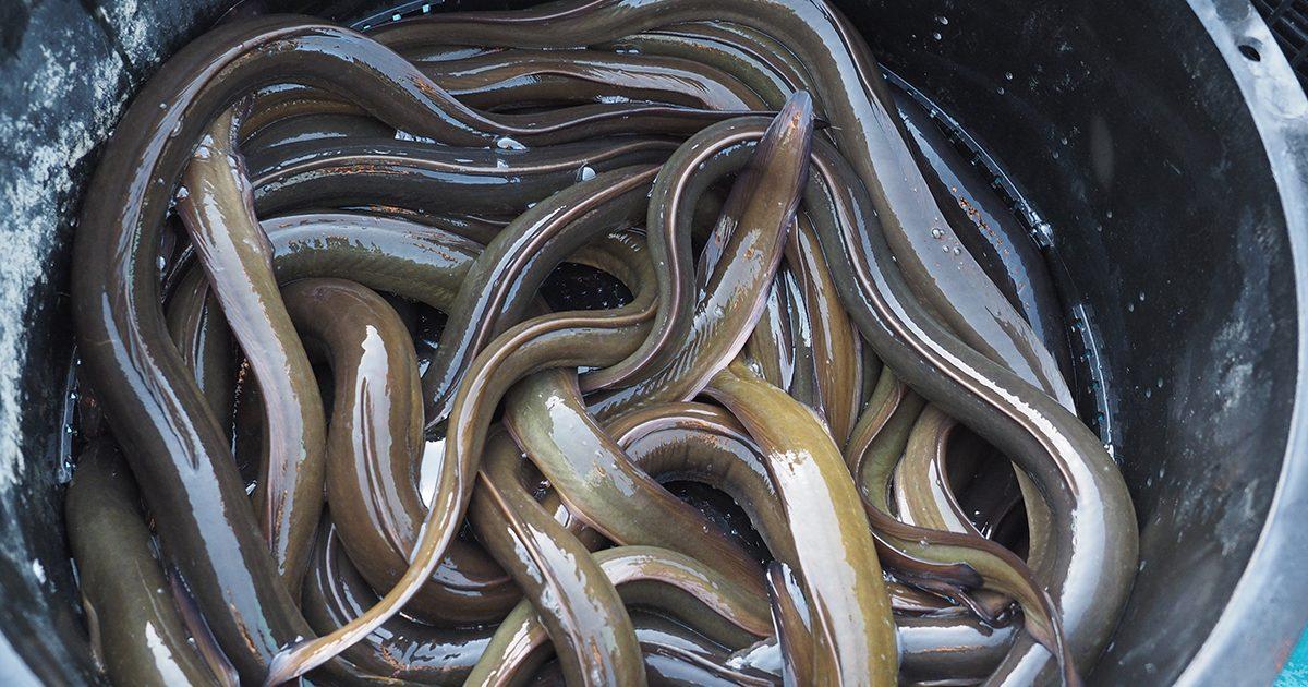 OCEAN BISTRO 旬の食材 天然うなぎ