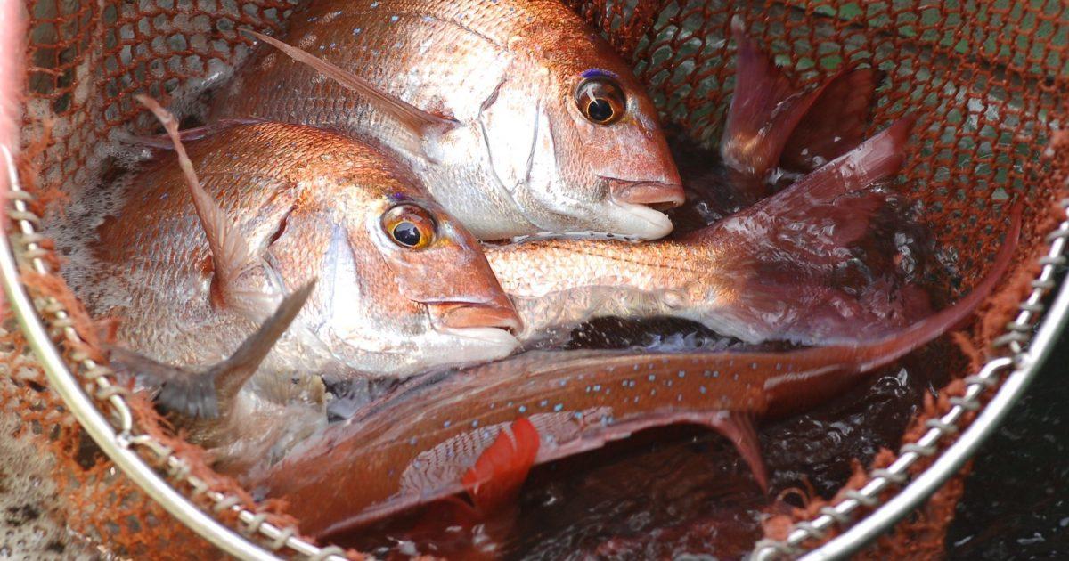 OCEAN BISTRO 旬の食材 桜鯛